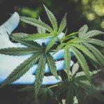 cannabis wann ernten?