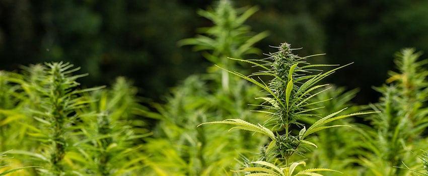 Cannabis Einpflanzen