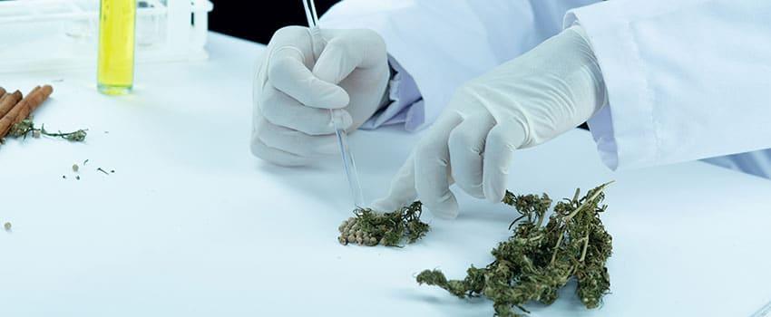 Cannabis Hauptwirkstoffe