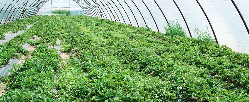 CBD Pollinat selber herstellen